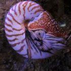 Nautilus (mollusc) photos